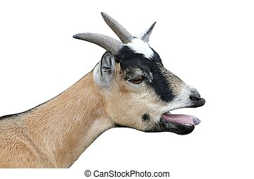 Bleating Goat Isolated