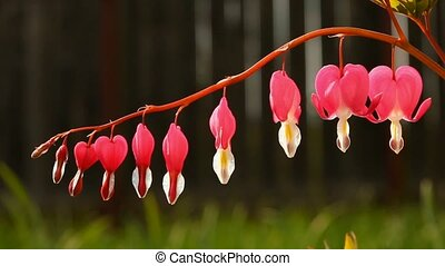 Bleeding heart cluster moving in wind (Dicentra spectabilis)