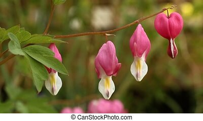 Bleeding Heart Flowers (Lamprocapno