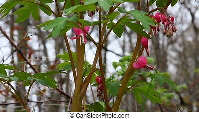 Bleeding hearts plant
