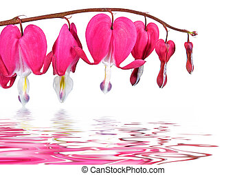 bleeding hearts reflection - Pink bleeding hearts on white...