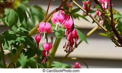 Bleeding hearts - A branch of Bleeding hearts in Spring...
