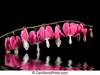 Row of bleeding heart blooms reflected on black background.