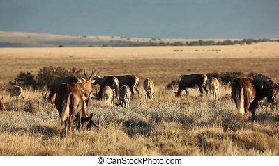 Blesbok antelopes and wildebeest gr - Herd of blesbok...