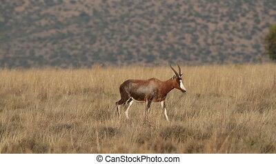 Blesbok antelopes walking - Blesbok antelopes (Damaliscus...