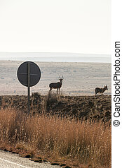 Blesbok Next To Road Sign