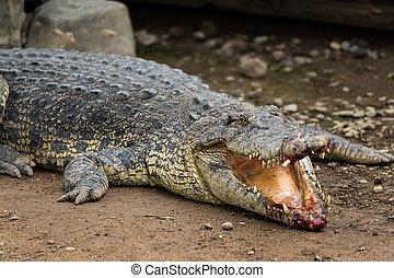 blessé, crocodile, bouche