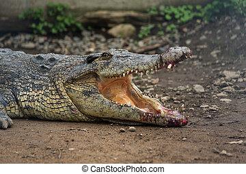 blessé, crocodile, ouverture bouche