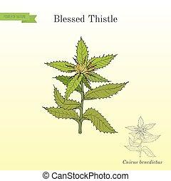 Blessed Thistle cnicus benedictus , medicinal plant. Hand...