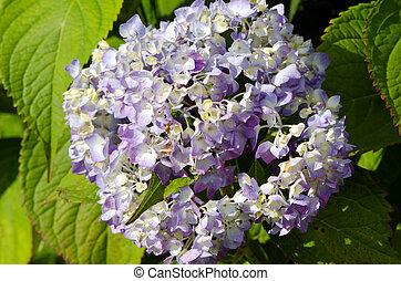 bleu, été, fleur, hortensia, closeup, fleur