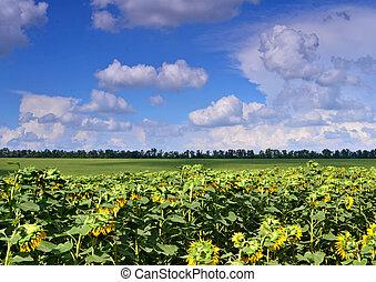 bleu, été, nuages, champ ciel, tournesols, sous