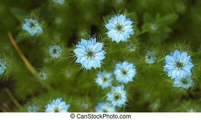 bleu, été, plante, shrub., nigella, nuances, différent, tôt...