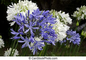 bleu, agapanthus, fleur, minuit