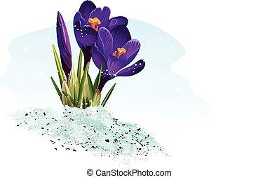 bleu, arrière-plan violet, colchique