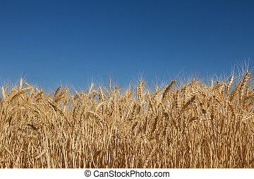 bleu, blé, ciel, contre, herbe champ