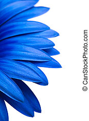 bleu, blanc, isolé, pâquerette
