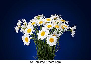 bleu, bouquet, isolé, fond foncé, fleurs fraîches, pâquerettes