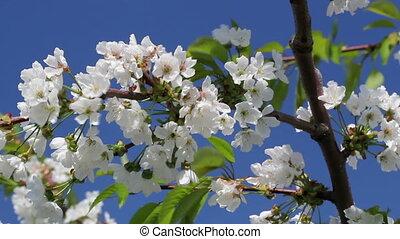 bleu, cerise, floraison, arbre, ciel