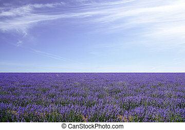 bleu, champs, ciel, lavande, contre