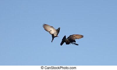 bleu ciel, ailes, paire, pigeons, s'agiter, sien
