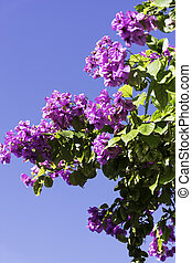 bleu, -, ciel, bougainvillea, croatie, fond, fleurs