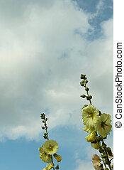 bleu, ciel jaune, roses trémières, contre