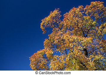 bleu, coloré, ciel, arbre, contre, érable