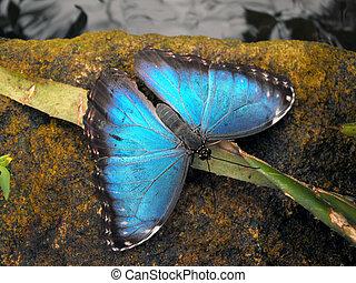 bleu, commun, morpho