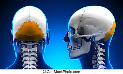 bleu, concept, crâne, -, occipital, anatomie, mâle, os