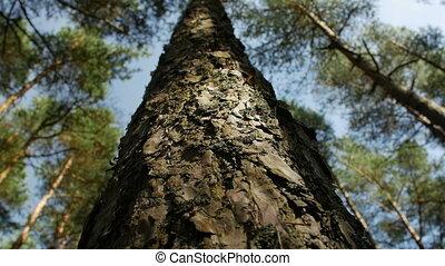 bleu, conifère, angle, sommets, clair, arbre, haut, pin, forest., contre, bas, ciel, regarder, vue