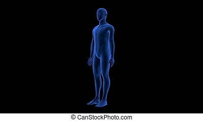 bleu, corps, render, balayage, -, seamless, anatomie, humain, tourner, boucle, 3d