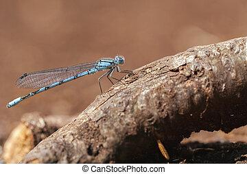 bleu, damselfly, -, commun, macro
