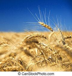 bleu, doré, blé, contre, ciel