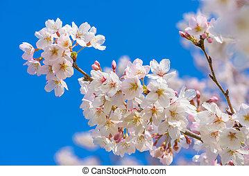 bleu, entiers, fleur, cerise, ciel, sakura, japon, fleur
