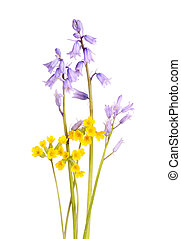 bleu, espagnol, isolé, jaune, cowslip, campanules, fleurs blanches
