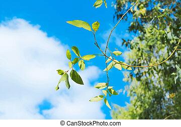 bleu, feuille, ciel clair, vert, frais