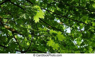 bleu, feuille, sky., feuilles, arbre, haut, vert, érable, vue