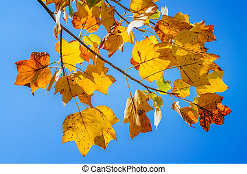 bleu, feuilles automne, ciel