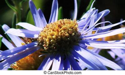 bleu fleurit, camomille