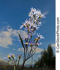 bleu fleurit, ciel, contre