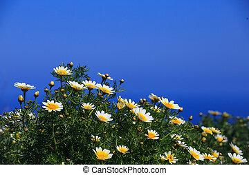 bleu fleurit, contre, fond, pâquerette