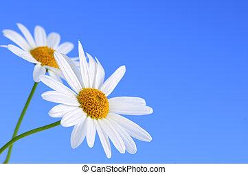 bleu fleurit, fond, pâquerette