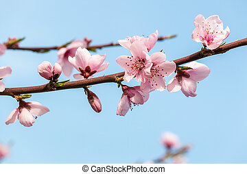 bleu fleurit, pêche, espace, ciel, arbre, contre, copie, fleur