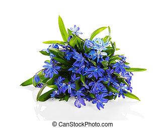 bleu fleurit, scilla, blanc, isolé