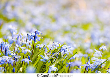 bleu, fleurs ressort, glory-of-the-snow