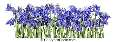 bleu, fleurs ressort, isolé