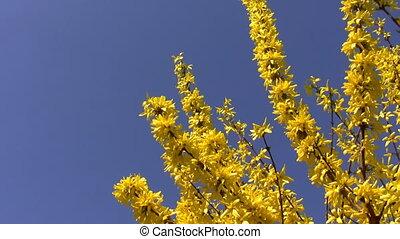 bleu, fleurs ressort, isolé, jaune