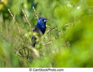bleu, grosbeak, habitat