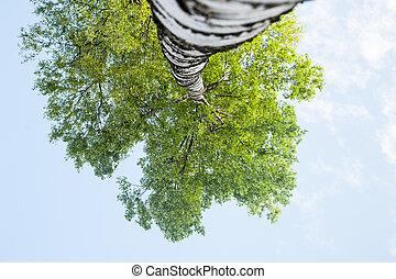 bleu, haut, bouleau, sky., printemps, fond, couronne, jeune, contre, arbre, thème, vert, panorama, croissance, vue