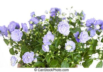 bleu, haut, campanule, terry, fin, fleurs